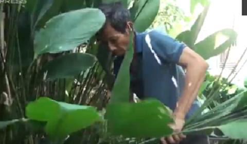 Người dân Đồng Nai thu hoạch lá dong đem TP HCM bán Tết