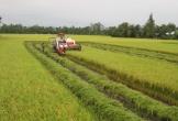 Điệp khúc 'lúa rớt giá' trở lại: Làm gì để nông dân bớt khổ?