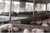 Chủ trang trại lợn tiền tỉ
