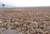Nguyên nhân bất ngờ khiến hàng trăm ha ngao chết ở Thanh Hóa